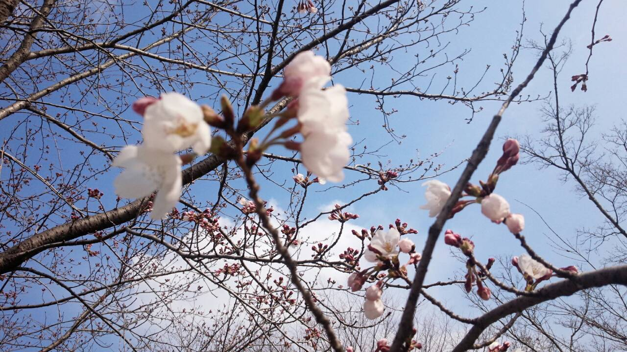 今年の桜も