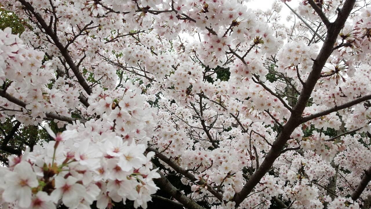 桜がつなぐ笑顔と笑顔